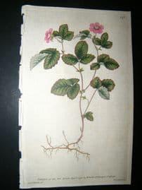 Curtis 1790 Hand Col Botanical Print. Dwarf Bramble 132