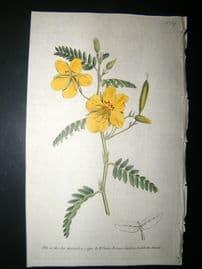 Curtis 1790 Hand Col Botanical Print. Dwarf Cassia 107