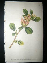 Curtis 1790 Hand Col Botanical Print. Four-Leav'd Ladies Finger 108