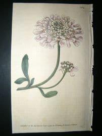 Curtis 1790 Hand Col Botanical Print. Gibraltar Candy-Tuft 124