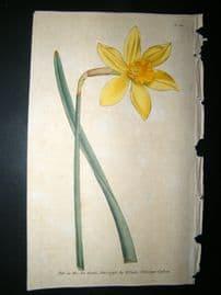 Curtis 1790 Hand Col Botanical Print. Peerless Daffodil 121 Narcissus