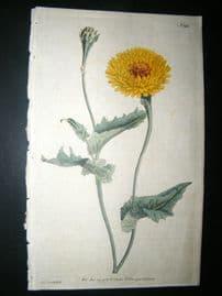 Curtis 1790 Hand Col Botanical Print. Tangier Scorzonera 142