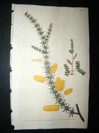 Curtis 1790 Hand Col Botanical Print. Whorl'd Leavd Mimosa 110