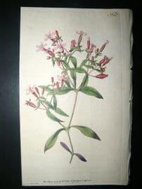 Curtis 1791 Hand Col Botanical Print. Basil Soap-Wort 154