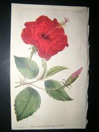 Curtis 1791 Hand Col Botanical Print. China-Rose Hibiscus 158