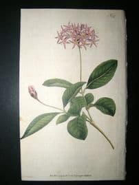 Curtis 1791 Hand Col Botanical Print. Cotinus-Leav'd Dais 147