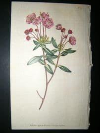 Curtis 1791 Hand Col Botanical Print. Glaucous Kalmia 177