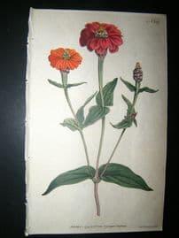 Curtis 1791 Hand Col Botanical Print. Many Flowered Zinnia 149