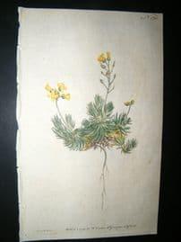 Curtis 1791 Hand Col Botanical Print. Sengreen Draba or Whitlow Grass 170