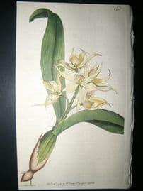 Curtis 1791 Hand Col Botanical Print. Two Leav'd Epidendrum 152