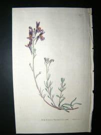 Curtis 1792 Hand Col Botanical Print. Alpine Toad-Flax 205