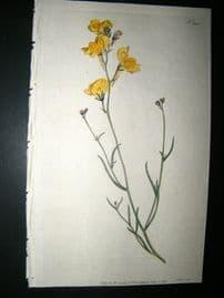 Curtis 1792 Hand Col Botanical Print. Branching Toad-Flax 200