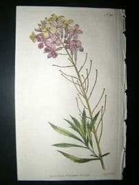 Curtis 1792 Hand Col Botanical Print. Changeable Wall-Flower 195