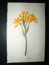 Curtis 1792 Hand Col Botanical Print. Golden Ornithogalum 190