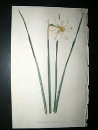 Curtis 1792 Hand Col Botanical Print. Narrow Leaved Narcissus 193