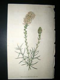Curtis 1792 Hand Col Botanical Print. Oval-Headed Selago 186