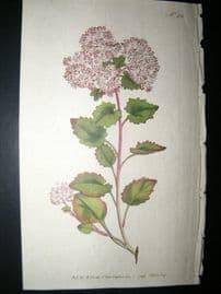 Curtis 1792 Hand Col Botanical Print. Poplar-Leav'd Stonecrop 211