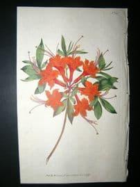 Curtis 1792 Hand Col Botanical Print. Scarlet Azalea 180