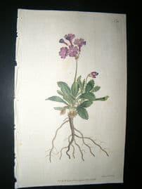 Curtis 1792 Hand Col Botanical Print. Silver Edged Primula 191