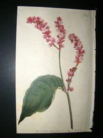 Curtis 1792 Hand Col Botanical Print. Tall Persicaria 213