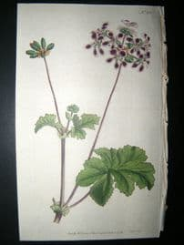 Curtis 1792 Hand Col Botanical Print. Two-Coloured Crane's Bill 201