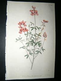 Curtis 1792 Hand Col Botanical Print. White-Leaved Indigo 198