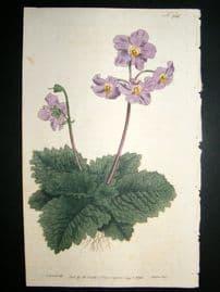 Curtis 1793 Hand Col Botanical Print. Borage Leaved Mullein 236