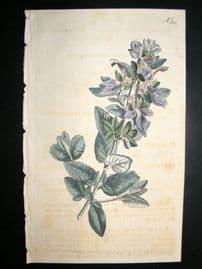 Curtis 1793 Hand Col Botanical Print. Broad Leaved Shrubby Germander 245