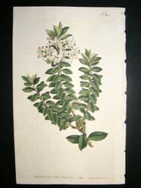 Curtis 1793 Hand Col Botanical Print. Cross Leaved Speedwell 242