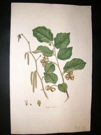 Curtis Flora Londonensis 1817 Hand Col Botanical. Hazel Nut. Corylus Avellana