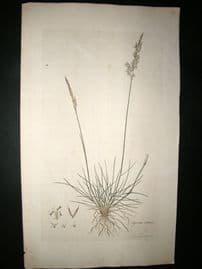 Curtis Flora Londonensis C1780 Folio Hand Col Botanical Print. Agrostis Setacea