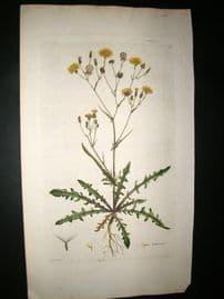 Curtis Flora Londonensis C1780 Folio Hand Col Botanical Print. Crepis tectorum