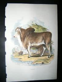 Cuvier 1854 Antique Hand Col Print. Brahminy Bull