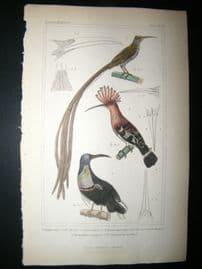 Cuvier C1835 Antique Hand Col Bird Print. Africa Hoopoe, New Guinea Hoopoe, The Splendid Epimachus, 39