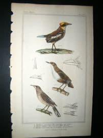 Cuvier C1835 Antique Hand Col Bird Print. Ant catcher, Common Water Thrush, African Thrush, 17