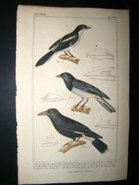 Cuvier C1835 Antique Hand Col Bird Print. Collared Shrike, Dark Eyed Choucori, Yellow Butcher Bird,
