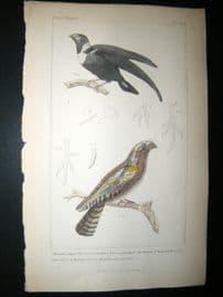 Cuvier C1835 Antique Hand Col Bird Print. Collared Swallow, martin, Goat Sucker 45