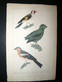 Cuvier C1835 Antique Hand Col Bird Print. Common Goldfinch, The Green Cock Of  The Rock, Mountain Finch, 23