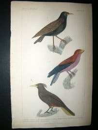Cuvier C1835 Antique Hand Col Bird Print. Common Starling, Madagascar Roller, The Cassique, 36
