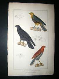 Cuvier C1835 Antique Hand Col Bird Print. Falco, Aquila, Astur, 3
