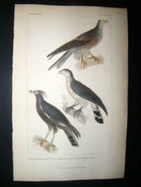 Cuvier C1835 Antique Hand Col Bird Print. Falcons 3