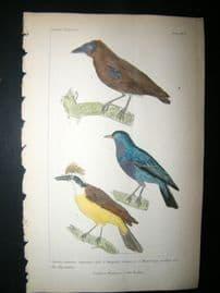 Cuvier C1835 Antique Hand Col Bird Print. Fly Catcher, 15