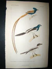 Cuvier C1835 Antique Hand Col Bird Print. Gmel, Vail, 14
