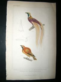 Cuvier C1835 Antique Hand Col Bird Print. Great Bird Of Paradise, Golden Breasted Bird Of Paradise, 30