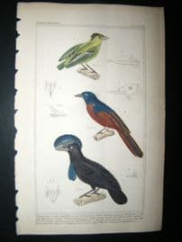 Cuvier C1835 Antique Hand Col Bird Print. Ornamented Eardalote, The Tyrant, Small Fly Catcher