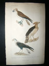 Cuvier C1835 Antique Hand Col Bird Print. Osprey, American Harpy, Common Caracara, 5
