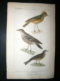 Cuvier C1835 Antique Hand Col Bird Print. Roitelet, Alpine Fauvette, 42