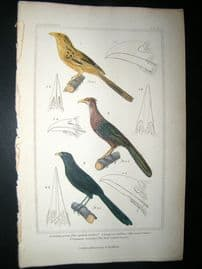Cuvier C1835 Antique Hand Col Bird Print. Spotted Cuckoo, The Couas Cuckoo, Lark-Nailed Coucal