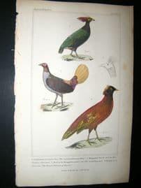 Cuvier C1835 Antique Hand Col Bird Print. Sumatra Pheasant, Diardis Pheasant, Sunda Pheasant, 57