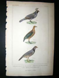 Cuvier C1835 Antique Hand Col Bird Print. Te Alleyed Falcon, The Rock Partridge, Californian Colin, 50